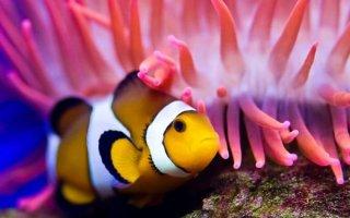 Немо в аквариуме или все о популярных рыбках-клоунах