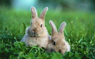 Приучаем кролика делать свои дела в лоток