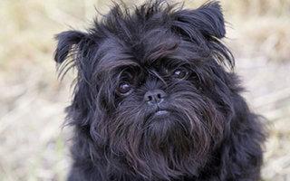 Миниатюрная собачка родом из Германии – Аффенпинчер