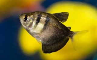 Популярная и миролюбивая – рыбка тернеция