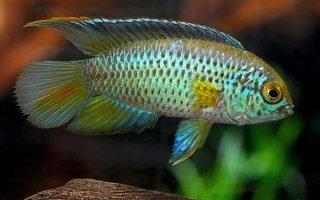 Сверкающее чудо аквариума – Наннакара