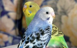 Как не быть обманутым: учимся выбирать здоровых волнистых попугаев
