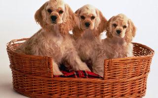 Активные и жизнерадостные охотничьи собаки породы Кокер спаниель