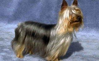 Знакомимся с самой маленькой рабочей породой собак – Австралийский шелковистый терьер