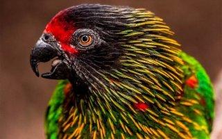 От мала до велика – рассматриваем породы попугаев