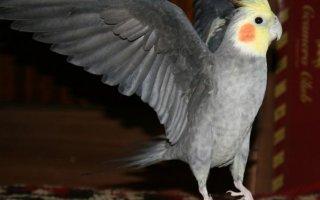 Школа попугая Корелла – учимся говорить, петь и танцевать