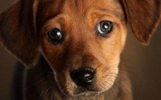 Как выявить сердечную недостаточность у собаки?
