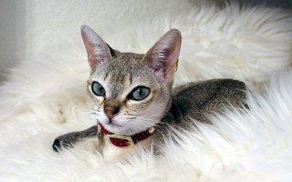 Восточная красавица: все о кошке Сингапура