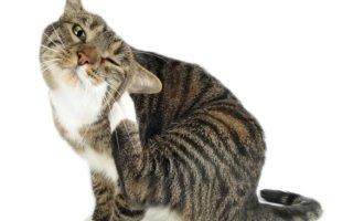 Кошки-аллергики – чувствительные особы