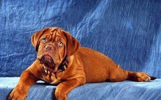 Послеродовая эклампсия у собаки: чем помочь питомице?