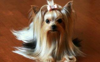 Собачья парикмахерская – стрижем Йорков