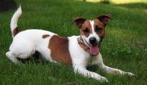 Описание собак породы Фокстерьер, фото питомцев и отзывы владельцев