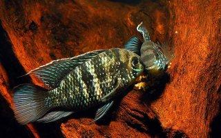 Такие разные акары: знакомимся с видами рыбок