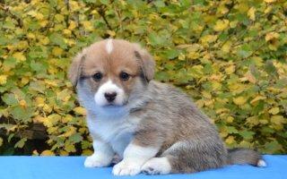 Собачка-лисичка: изучаем породу Вельш Корги