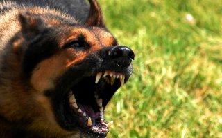Самые лучшие сторожевые и охранные собаки