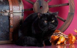 Чем примечательны Британские кошки черного окраса?