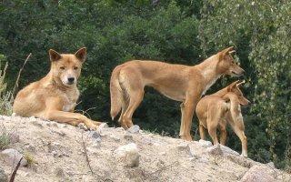 Динго – собака, которая никогда не лает