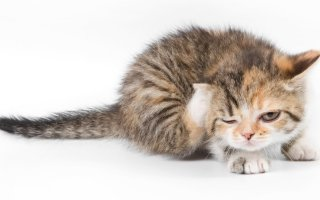 Ивермек – лечим кошку от паразитарных болезней