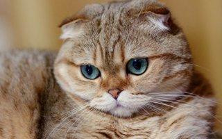 Шотландская вислоухая кошка, описание породы