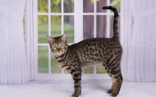 Благородные кошки породы Саванна с дикой родословной