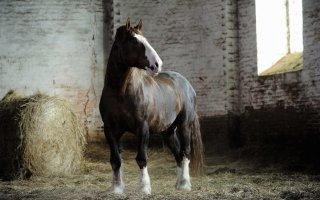 Богатырские лошади из русских сказок – знакомимся с Владимирскими тяжеловозами