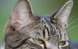 Как помочь кошке с отитом?