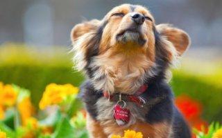 Капли Адвантикс – быстро избавит от блох и клещей вашу собаку