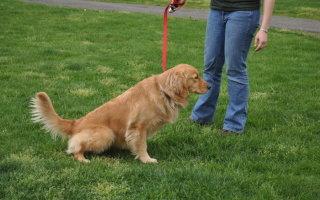 Приучаем собаку справлять нужду на улице
