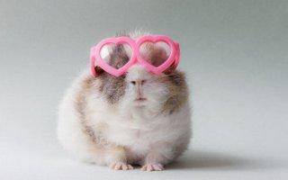 Хотите завести морскую свинку? Пора познакомиться с питомниками!