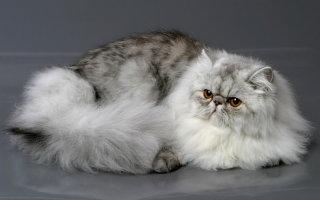 Длинношерстные красавицы Востока – Персидские кошки