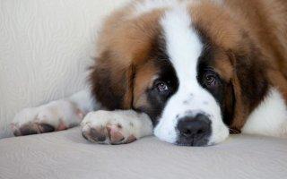 Собака-кинозвезда Бетховен – знакомимся с Сенбернаром