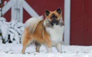Самая дреняя пастушья порода – Исландская собака