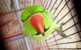Он или она – секреты определения пола у попугаев