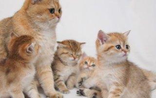 Как отзываются о британской породе кошек их владельцы?
