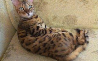 Какие породы кошек не линяют?