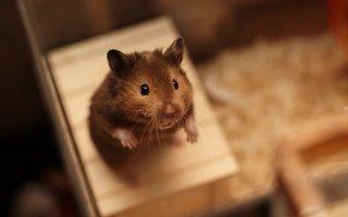 Размножение хомяков в неволе: памятка для начинающего «хомятника»