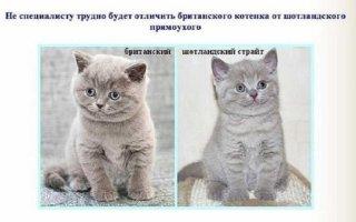 Основные отличия британских кошек от шотландских: мнение эксперта