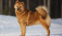 Обзор породы собак Японский шпиц, уход и воспитание, отзывы владельцев