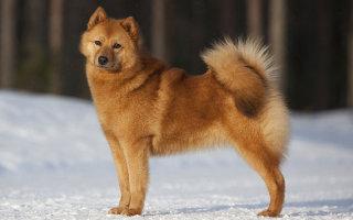 Все о Финском шпице – национальной собаке Финляндии
