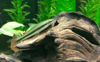 Рыбка водорослеед – помощник аквариуму