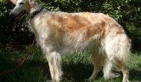 Характеристика породы собак Итальянская левретка, уход, содержание и фото