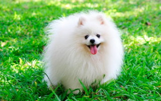 ТОП-10 самых пушистых пород собак