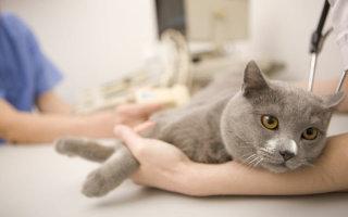 Как лечить и ухаживать за кошками с диагнозом почечная недостаточность?