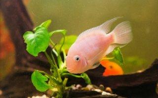 """Загадка современной аквариумистики или просто рыбка """"розовый фламинго"""""""