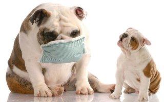 Что делать если собака кашляет?