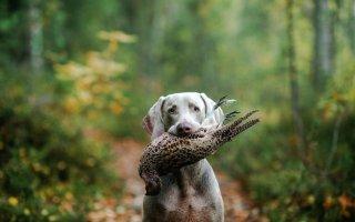 Веймаранер – верный друг и помощник охотника