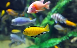 Цихлиды африканские от А до Я: для любителей рыбок «с интеллектом»