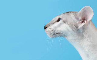 Ориентир для котолюбов – кошки породы Ориентальная
