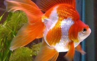 Вуалехвост – самая неприхотливая золотая рыбка