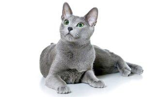Русская голубая – кошка с царскими корнями